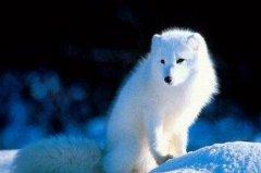 狐:犬瘟热的防治