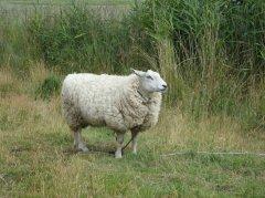 养羊防疫---羊狂犬病的症状与治疗