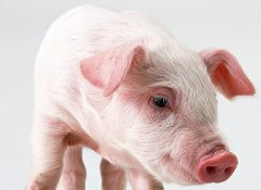 从猪流行性腹泻(PED)中所学的东西将会很有价