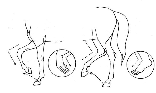 人的下肢和动物的后肢的比较